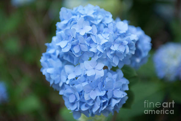 Photograph - Blue Hydrangea Petals by Dale Powell