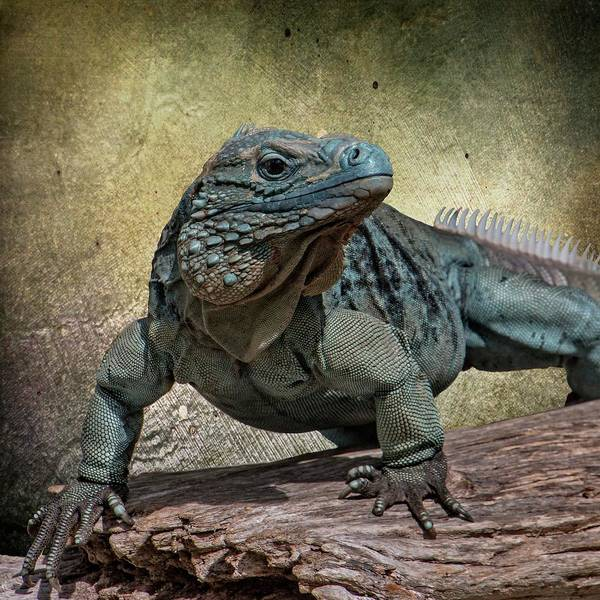 Wall Art - Photograph - Blue Iguana by Teresa Wilson