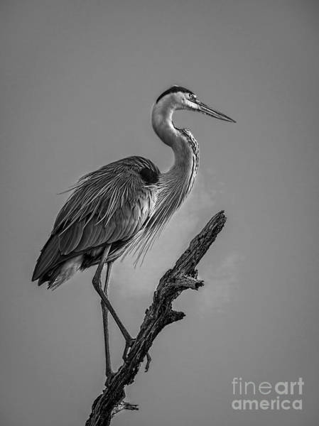 Great Blue Heron Wall Art - Photograph - Blue In Black-bw by Marvin Spates
