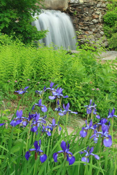 Wall Art - Photograph - Blue Iris And Waterfall by John Burk