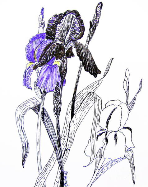 Drawing - Blue Iris by Marilyn Smith