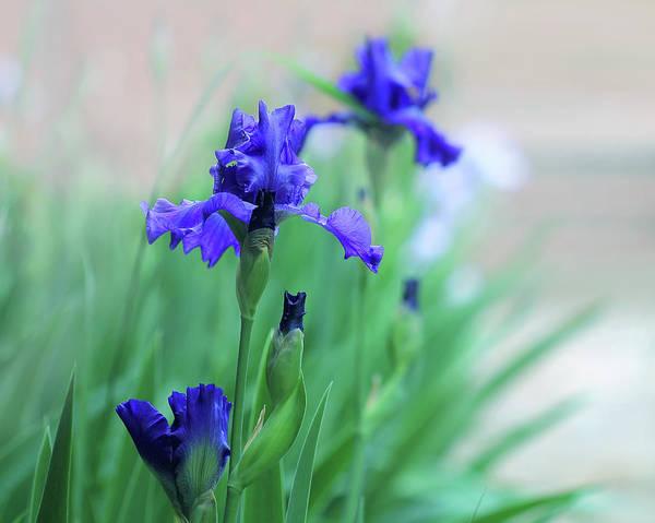 Photograph - Blue Irises by Angela Murdock