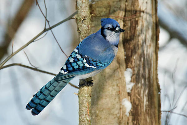 Wall Art - Photograph - Blue Jay 0291 by Michael Peychich