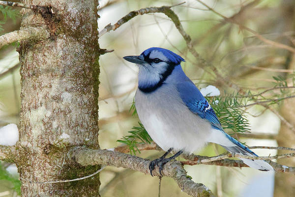 Wall Art - Photograph - Blue Jay 0307 by Michael Peychich
