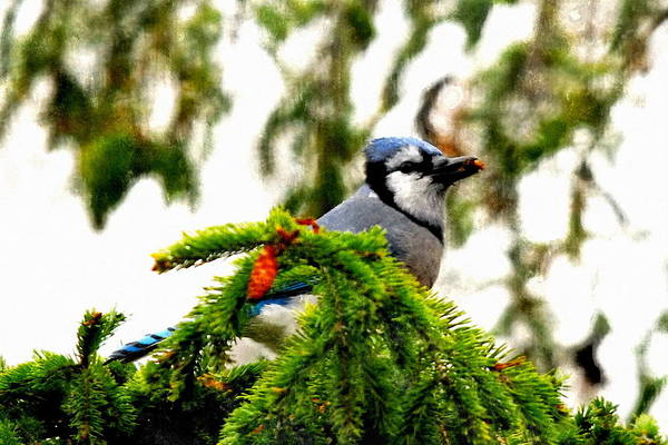 Photograph - Blue Jay At My Window by Andrea Kollo