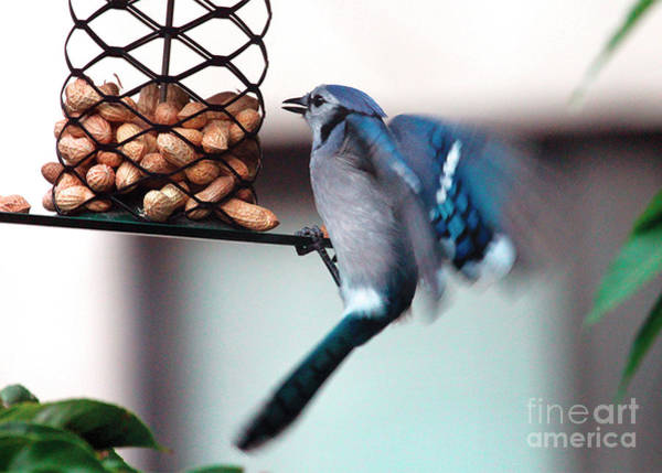 Photograph - Blue Jay On Lunch Hour by Patricia Youngquist