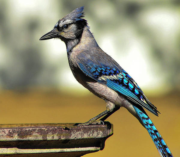Photograph - Blue Jay Bath by Scott Cordell