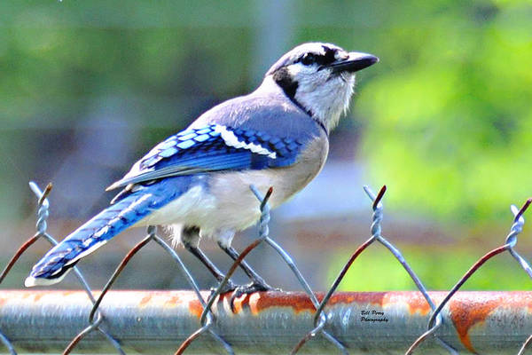 Wall Art - Photograph - Blue Jay by Bill Perry
