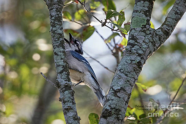 Wall Art - Photograph - Blue Jay Call by Deborah Benoit