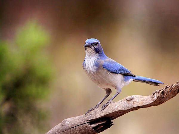 Photograph - Blue Jay by Charles McKelroy