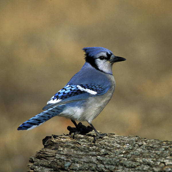 Photograph - Blue Jay Cyanocitta Cristata by Jeff Phillippi