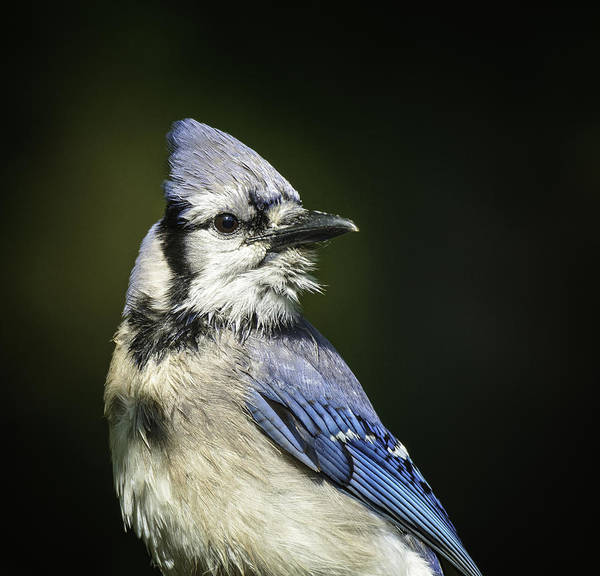 Photograph - Blue Jay by David Waldrop
