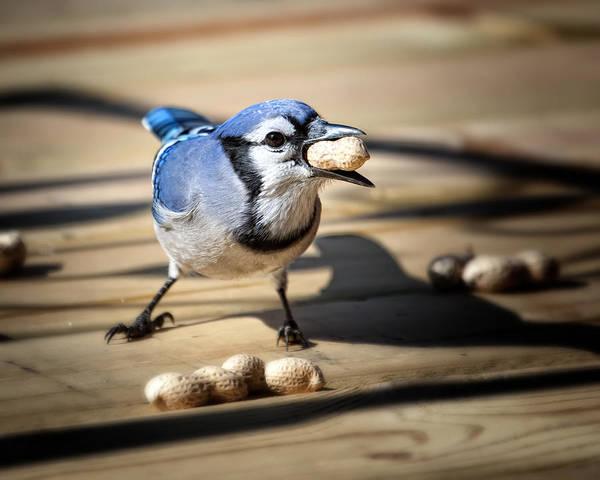 Wall Art - Photograph - Blue Jay Eating A Peanut by Al  Mueller