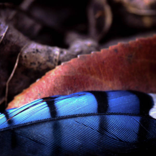 Photograph - Blue Jay Feather by Jeff Phillippi