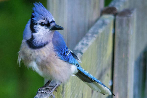 Photograph - Blue Jay Fluffed by John Benedict