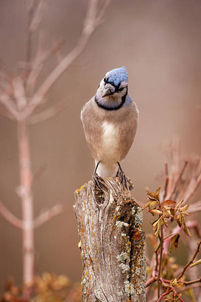 Photograph - Blue Jay For Ali 2 by Jeff Phillippi