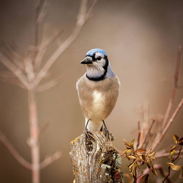 Photograph - Blue Jay For Ali 4 by Jeff Phillippi