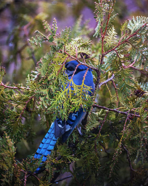 Photograph - Blue Jay Hiding In A Tree by Toby McGuire