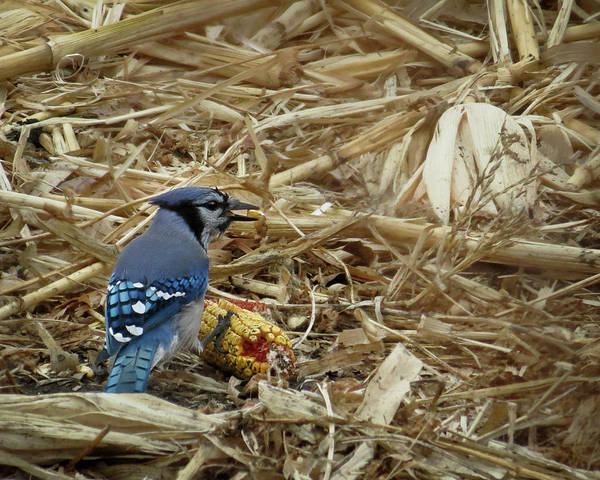 Photograph - Blue Jay In Cornfield by Patti Deters