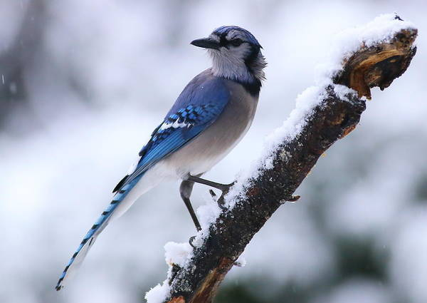 Photograph - Blue Jay In Snow by Daniel Reed