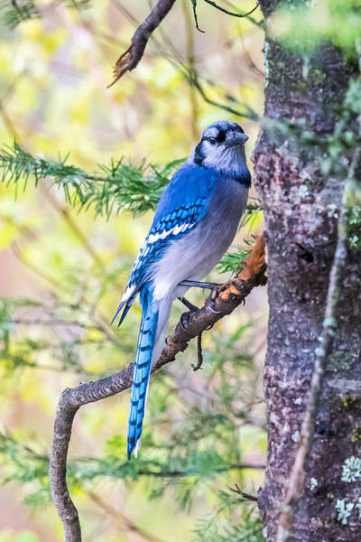 Wall Art - Photograph - Blue Jay In The Forest by Paul Freidlund
