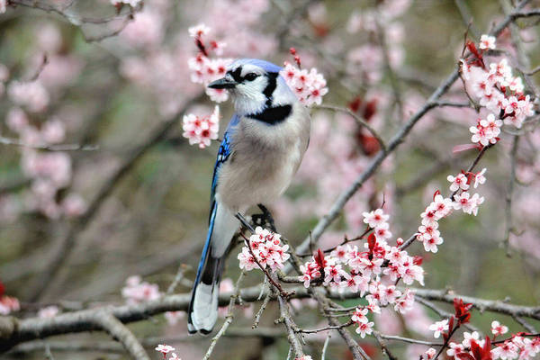 Photograph - Blue Jay In The Spring by Trina Ansel
