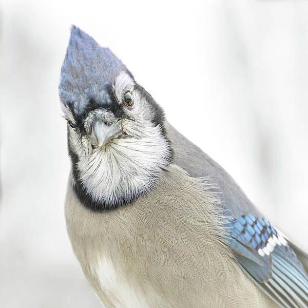 Feeder Photograph - Blue Jay In Winter by Jim Hughes