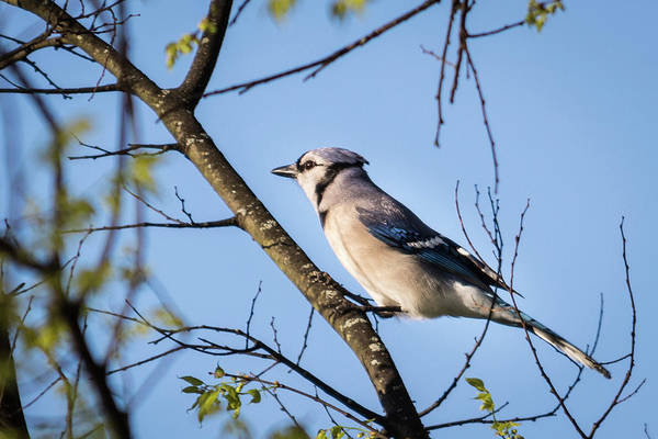Photograph - Blue Jay by John Benedict
