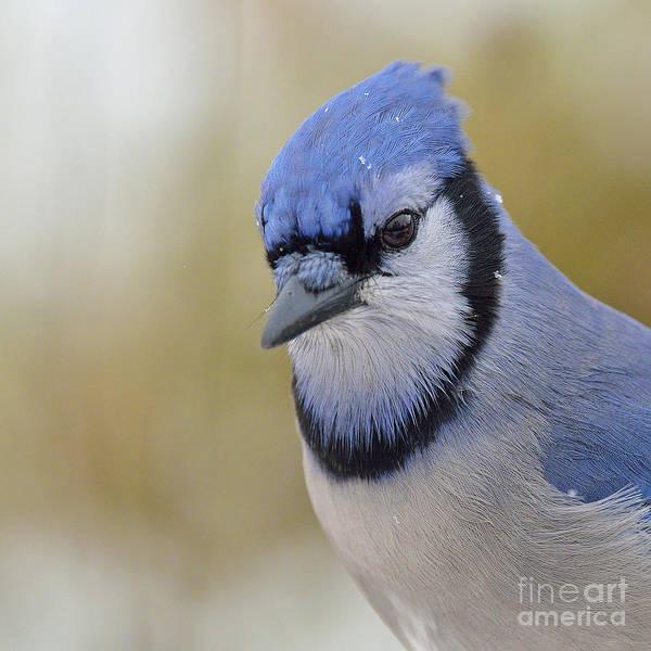 Shirleys Bay Photograph - Blue Jay by Joshua McCullough