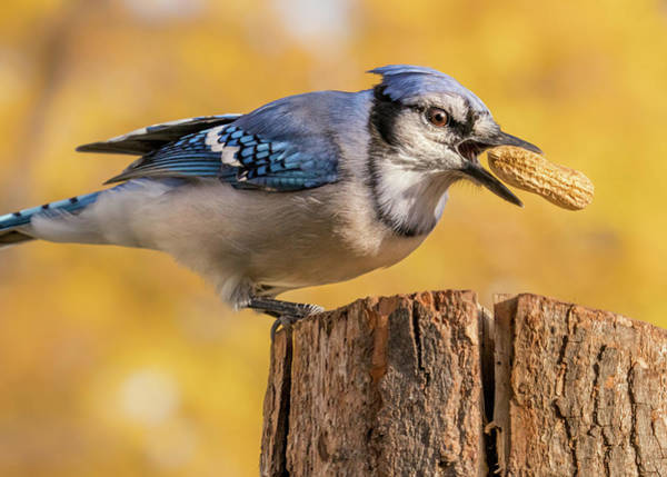 Feeder Photograph - Blue Jay Juggling A Peanut by Jim Hughes