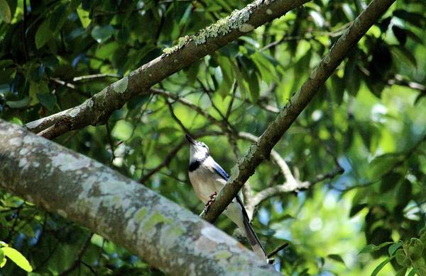 Photograph - Blue Jay Looking Up by Cynthia Guinn