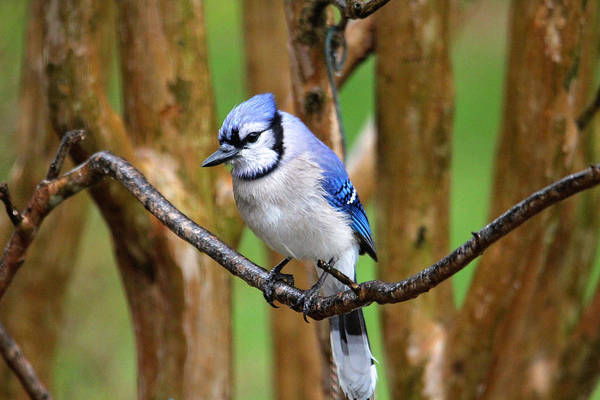 Photograph - Blue Jay On A Branch by Trina Ansel