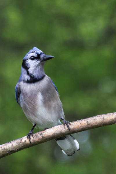 Photograph - Blue Jay On Alert by John Benedict