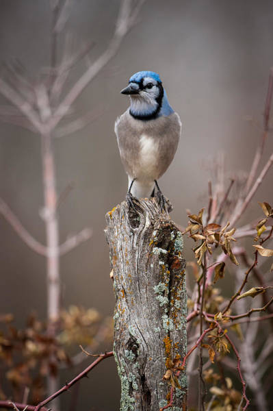 Photograph - Blue Jay On Hedge Post 1 by Jeff Phillippi
