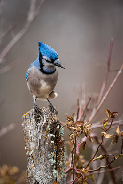 Photograph - Blue Jay On Hedge Post 2 by Jeff Phillippi