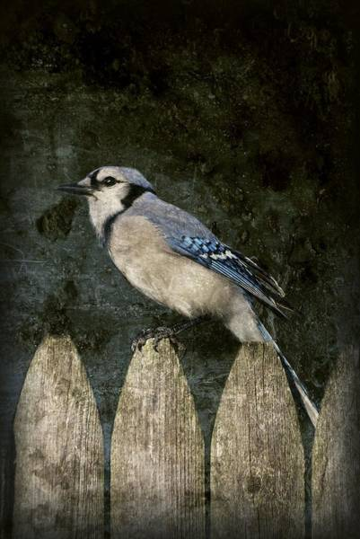 Photograph - Blue Jay On The Fence by Angie Tirado