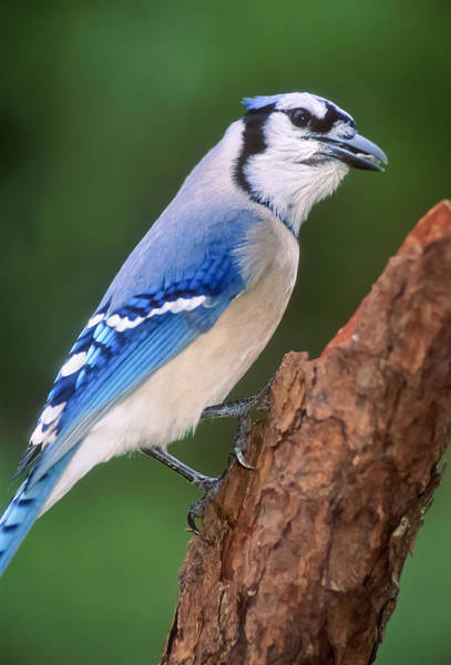 Photograph - Blue Jay by Patrick M Lynch