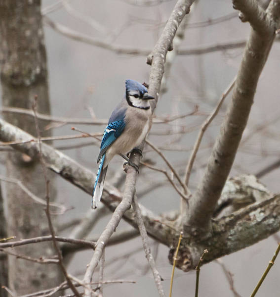 Woodlot Photograph - Blue Jay by Phyllis Taylor