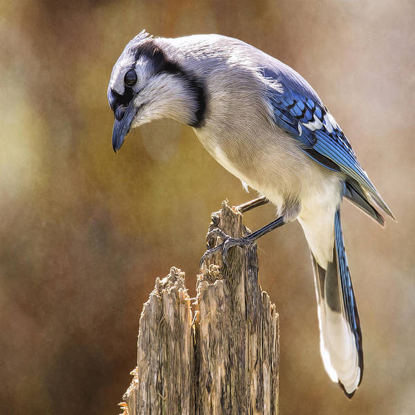 Wall Art - Photograph - Blue Jay Posted Details by Bill Tiepelman