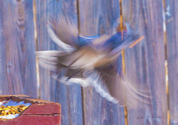 Photograph - Blue Jay Takes Flight by Edward Peterson