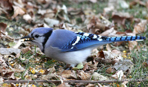 Wall Art - Photograph - Blue Jay With A Full Mouth by Lori Tordsen