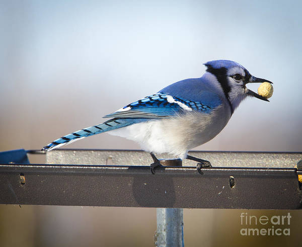 Blue Jay With A Mouth Full Art Print