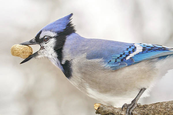 Feeder Photograph - Blue Jay With Peanut, In January by Jim Hughes