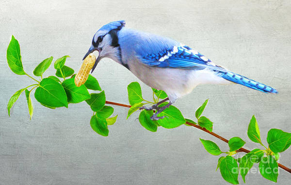 Blue Jay Photograph - Blue Jay With Peanut by Laura D Young