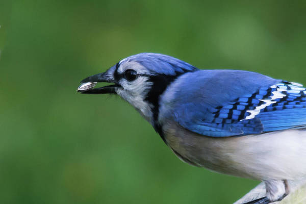 Photograph - Blue Jay With Seed by John Benedict