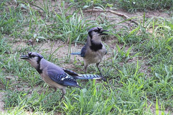 Photograph - Blue Jays Foraging by Ericamaxine Price
