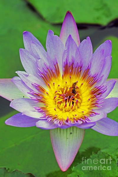 Photograph - Blue Lotus by Jennifer Robin