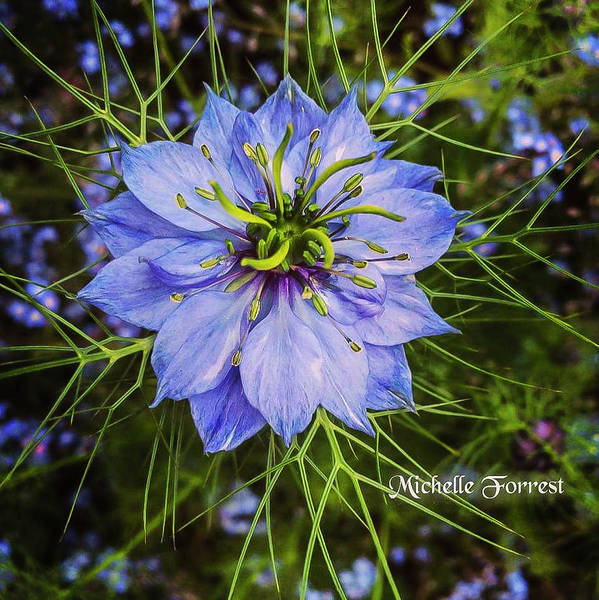Love In The Mist Photograph - Blue Love by Michelle Forrest