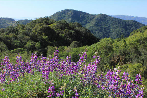 Photograph - D3b6376-blue Lupine And The Rolling Hills by Ed  Cooper Photography