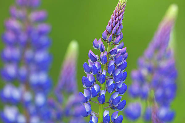 Photograph - Blue Lupines by Arterra Picture Library